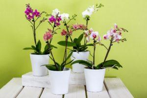 Orhideje vole zeleni čaj