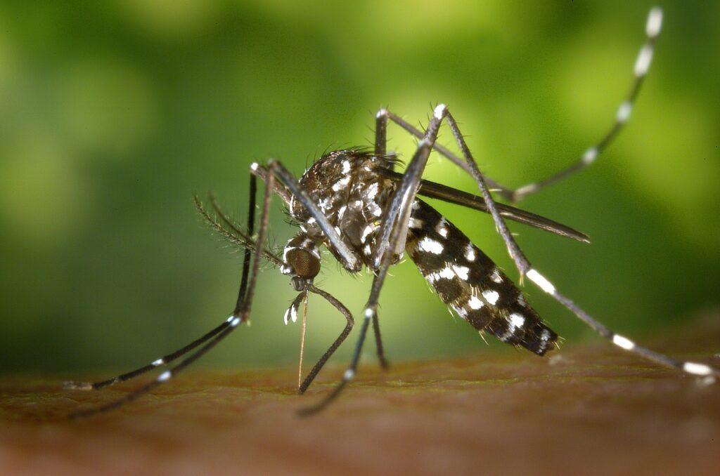 tigrasti komarci